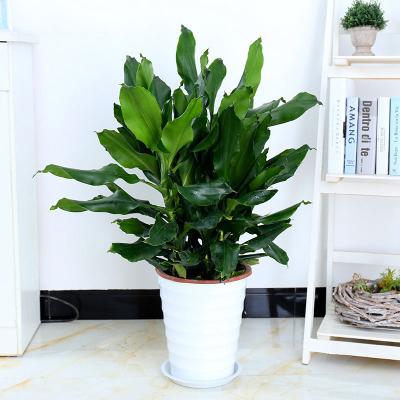 螺纹铁植物图片图片